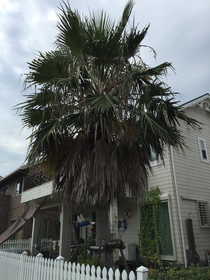 椰子の木2